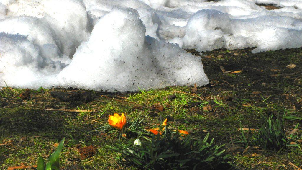 Schnee und Krokusse